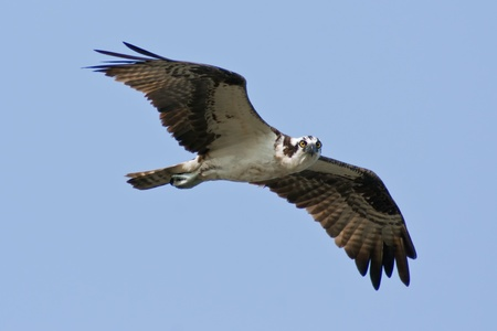 Osprey (Pandion haliaetus) in flight looking directly at the camera.
