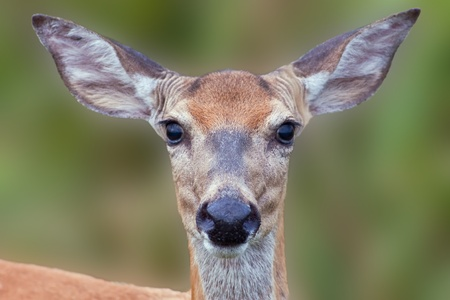 Close-up image of a White-tailed Deer looking directly at the viewer.