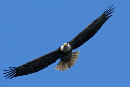 eagle feather: The national bird of the United States, the Bald Eagle, in flight against a blue sky background. Stock Photo