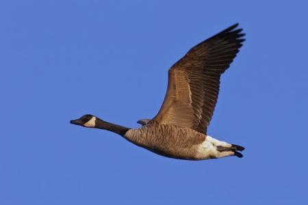 ocas: Ganso de Canadá (Branta canadensis) en vuelo contra un cielo azul de fondo.