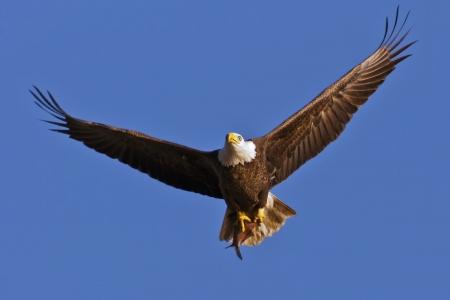 신선한 비행에서 대머리 독수리는 그것의 발톱에 청어를 잡았다.