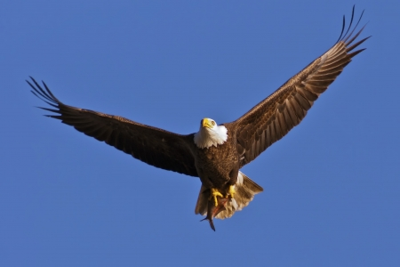 Bald Eagle in flight with fresh caught Shad in its talons.