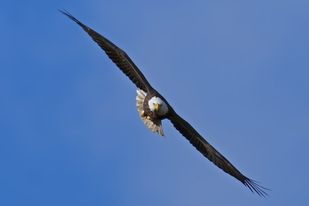 eagle flying: Bald Eagle flying directly toward the viewer with blue sky background.
