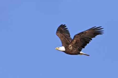 bald eagle: The national bird of the United States, the Bald Eagle, in flight against a blue sky background. Stock Photo