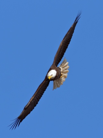 flying eagle: Bald Eagle flying toward the viewer with blue sky background.