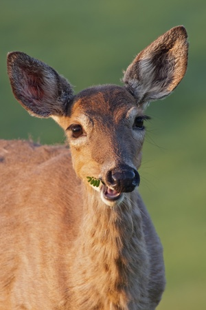White-tailed Deer chewing on a piece of vegetation. photo