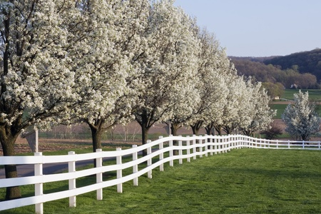 Row of Dogwood Trees blossoming in spring season.