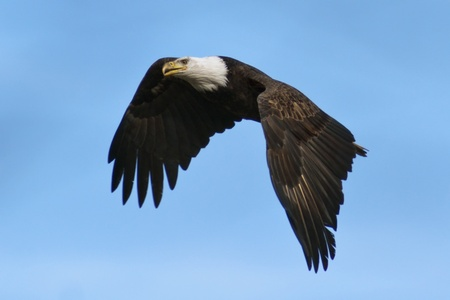 Bald Eagle flying with blue sky background. photo