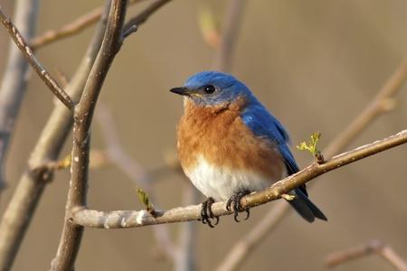 Portrait of a male Eastern Bluebird  Sialia sialis  photo