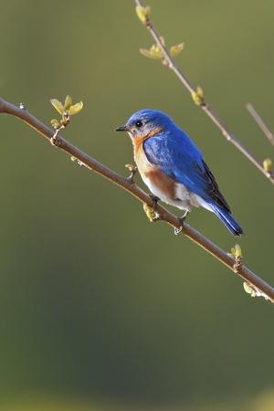 songbird: Portrait of a male Eastern Bluebird  Sialia sialis