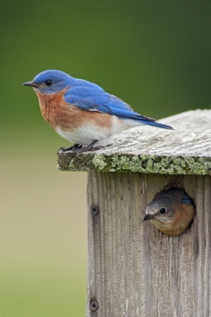A pair of Eastern Bluebirds, male and female at their birdhouse