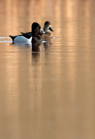 necked: A pair of Ring Necked Ducks on golden water