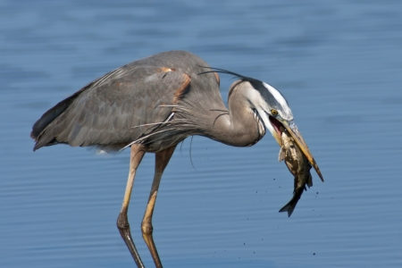 Great Blue Heron with a large fish just caught  photo