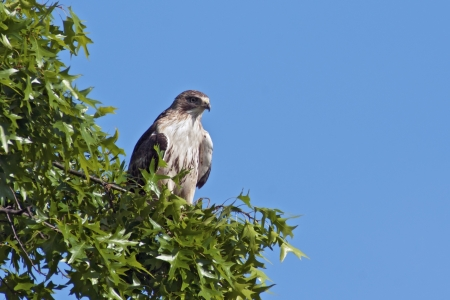 tailed: Red-tailed Hawk perched in a tree with blue sky