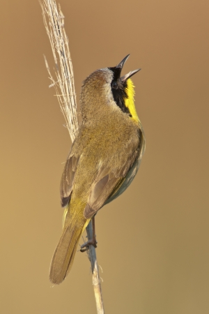 A Common Yellowthroat singing from a perch