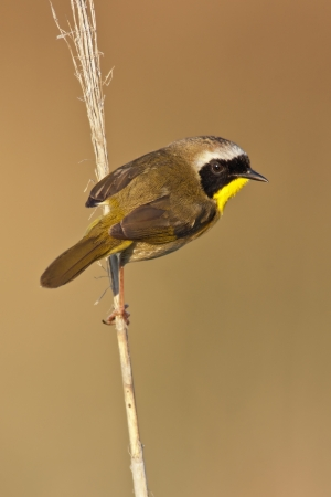 A Common Yellowthroat looking at the viewer from a perch  Stock Photo - 13656092