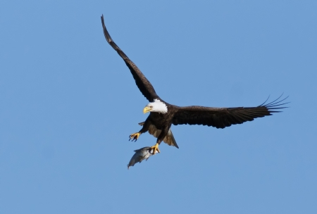 bald eagle: Bald Eagle flying with caught fish in talons