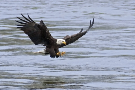 eagle flying: A Bald Eagle approaches the water with talons open to catch fish  Stock Photo