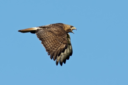 tailed: Red-tailed Hawk in Flight against a blue sky background