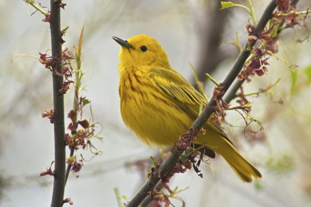 beautiful woodland: Yellow Warbler  Dendroica petechia aestiva , male in breeding plumage   Stock Photo