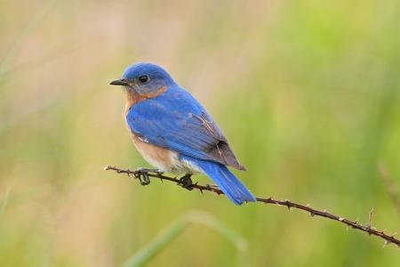 Male Eastern Bluebird  Sialia sialis  on a thorny branch