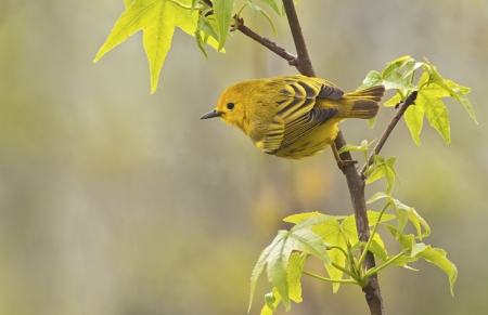 warbler: Yellow Warbler  Dendroica petechia aestiva , male in breeding plumage   Stock Photo