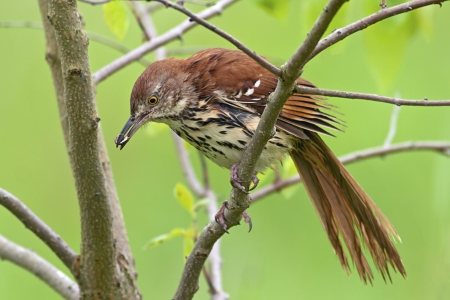 Brown Thrasher perched in a tree with a caterpillar in it Stock Photo