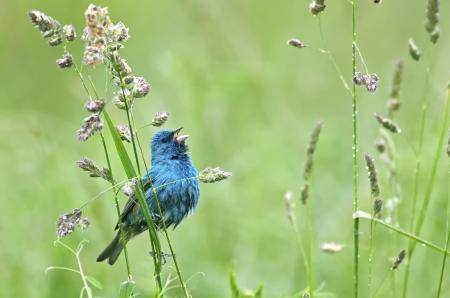 Indigo Bunting Singing After a Spring Rain Shower Stock Photo