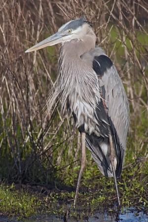 Great Blue Heron  Ardea herodias  in marsh habitat