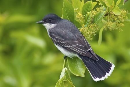 Eastern Kingbird  Tyrannus tyrannus  perched with bright green background