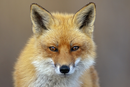 red head: Red Fox looking directly at the viewer  Stock Photo