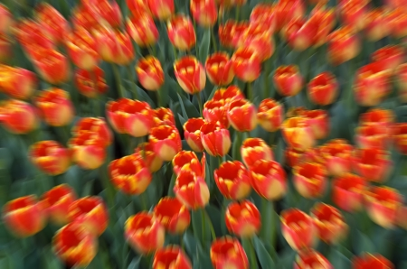 Colorful field of tulips with abstract zoom effect