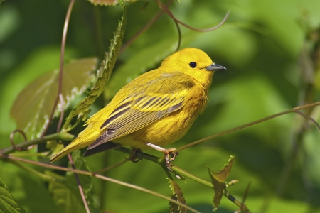 Yellow Warbler perched in lush green foliage
