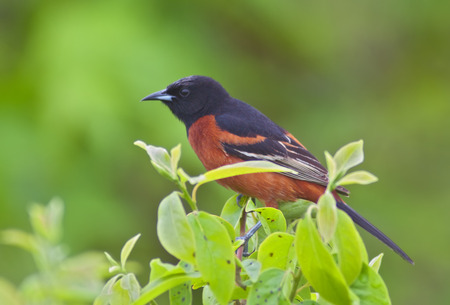 Orchard Oriole perched with green background