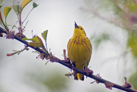 Yellow Warbler Singing from a colorful perch  Stok Fotoğraf