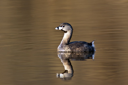 Pied-Billed Grebe (Podilymbus podiceps) on golden water with mirrored reflection.