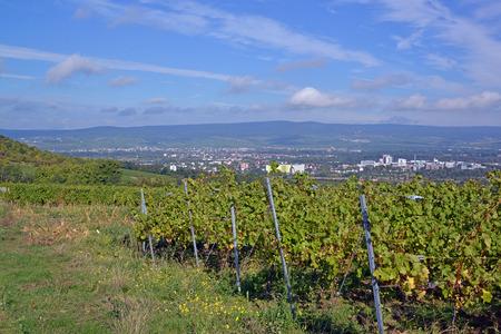 vine country: Vine country