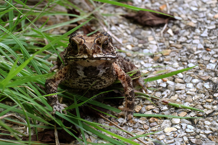 Standing still toad Stock Photo