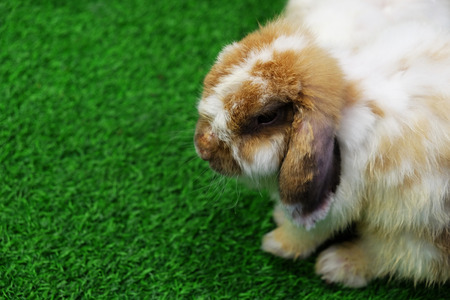 lop lop rabbit white: Holland lop white and brown rabbit on green grass