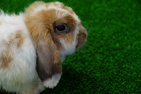 lop lop rabbit white: Side view of Holland Lop rabbit on green grass Stock Photo