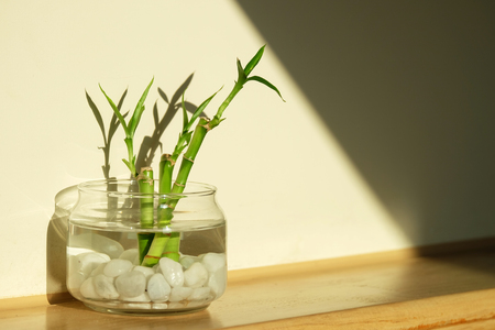 Green lucky bamboo as known as scientific name, Dracaena braunii, or Ribbon plant, or belgian evergreen in glass water jar with beautiful light and shadow