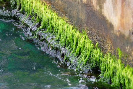 Green and wet algae grew up at the concrete coastline of a riverbank in a row
