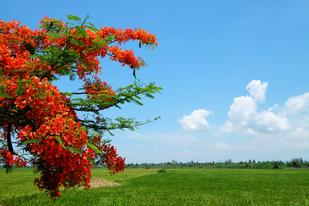 Royal Poinciana tree with red flowers on green farm and cloudy blue sky day Stock Photo