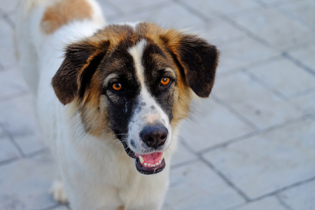Mixed breed Thai Bangkaew species of street dog, white and brown color, standing and waiting for food