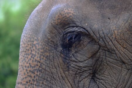 Side view closeup left eye on Asian elephant with background of green forest