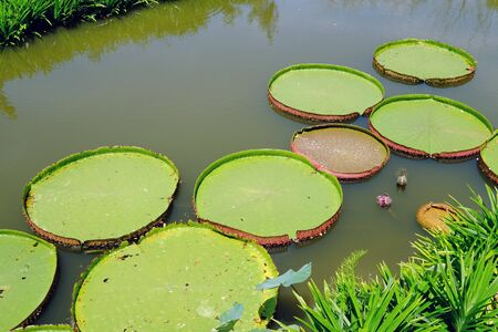 Big fresh green lotus leaves on water in a river