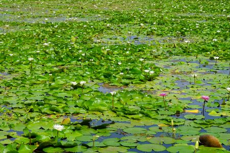 Pool of lotus and green leaves floating on the water