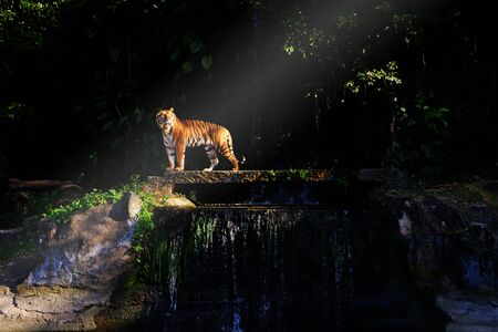Bengal tiger with beautiful sunlight on black forest background Banque d'images - 138071118