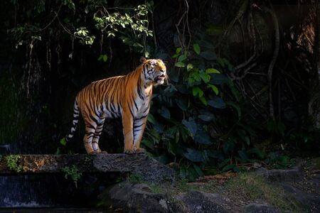 Beautiful Bengal tiger standing in a forest Banque d'images - 138073160