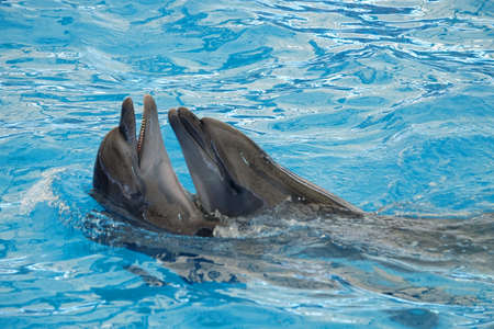 Pair of dolphins holding each other in blue and clean water